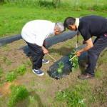 2017.6.5 芋の苗植え (1)