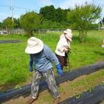2017.6.5 芋の苗植え (2)
